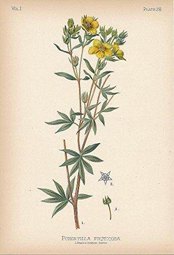 Shrubby cinque foil 1879 original antique color lithograph botany ()