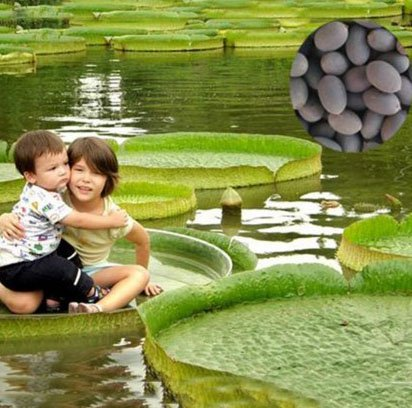 Victoria Amazonica Giant Waterlily Seed, Professional Pack, 5 Seeds / Pack, Rare Giant Lotus Aquatic Plant
