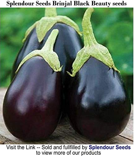 Splendour Seeds Brinjal Black Beauty Seeds (Around 100 Seeds)