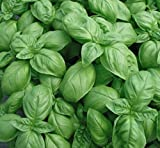 Genovese Sweet Basil Seeds, 500+ Premium Heirloom Seeds, Fantastic Addition to Your Home herb Garden! Sweet Flavor!, (Isla's Garden Seeds), 90% Germination, Highest Quality Seeds