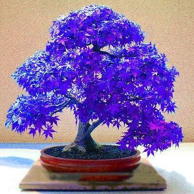 SOOGGI 100粒 青いもみじ盆栽の種 植物種子 有機 観葉植物 高い発芽率 簡単な栽培 ホームガーデンの装飾