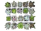 Plants for Pets - 20 Live B-Grade Succulents | House Plants with Minor Flaws/Healthy Discounted/Cheap Succulent Plants