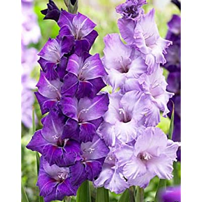(10) Fresh, New 2020, Large Flowering Cool Blue Mixed Colors Gladiolus Bulbs, Plants, Flowers, Flowering Perennials, Sword Lily, Gladioli-SeedsBulbsPlants&More : Garden & Outdoor