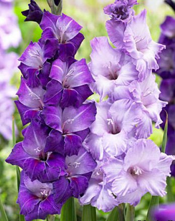 (10) Fresh, New 2018, Large Flowering Cool Blue Mixed Colors Gladiolus Bulbs, Plants, Flowers, Flowering Perennials,Sword Lily, (Mixed Colors Flower Bulbs)