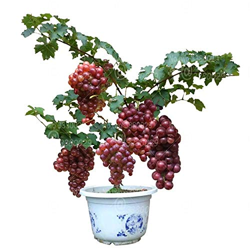 50pcs Sapphire Grape Bonsai Rare Shine-Muscat Grape Fruit Bonsai Tree  Perennial Indoor Potted Plants for Home Garden Plantas