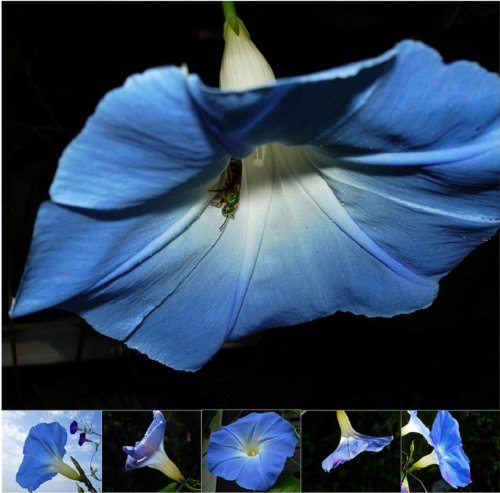 Miette Michie Photography Note Cards: Morning Glories, Health Care Stuffs