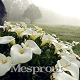 New true calla lily Seeds 100PCS
