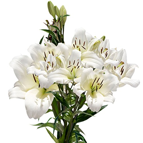 GlobalRose 28 Blooms of White Color Asiatic Lilies 8 Stems - Fresh Flowers for Delivery by GlobalRose