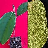 Mini Garden Cempedak Artocarpus Integer Chempedak Tropical Fruit Potted Tree Plant