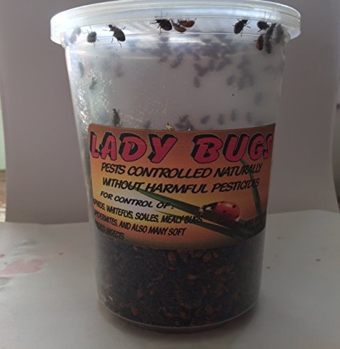 Bazos 3000 Live Ladybugs - Good Bugs - Ladybugs - Guaranteed Live Delivery by (3000) by Bazos