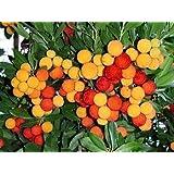 Erdbeerbaum - Arbutus unedo - Samen