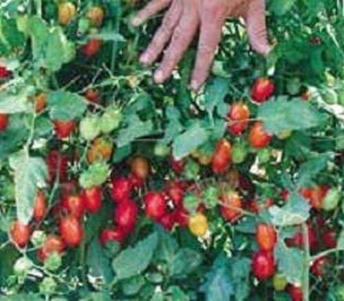 Duende alegre de tomate 10 Semillas Luna jardines bellamente Simplemente Grown: Amazon.es: Jardín