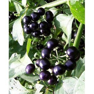 Wonderful *Seeds And Things Garden Huckleberry Bush 35 Seeds