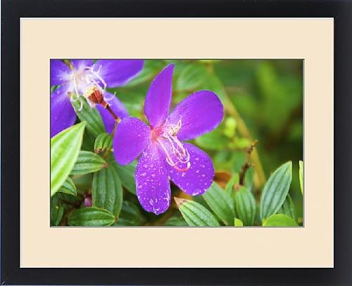 Tibouchina Urvilleana Princess Flower (Framed Print of Sai Kung A Princess flower or Glory Bush, (Urvilleana tibouchina))