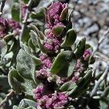 Shadscale Saltbush Seeds (Atriplex confertifolia) 100+Seeds