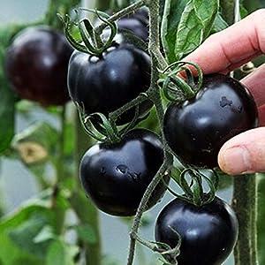 futaba black pearl black cherry tomato rare non gmo 50 seeds garden outdoor. Black Bedroom Furniture Sets. Home Design Ideas