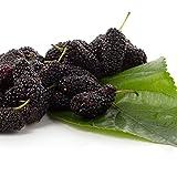 Long Mulberry Tree 'Pakistan Black Mulberry Tree Morus nigra Live Plant Fruit
