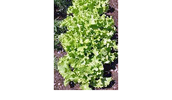 in Florida 500+ Lettuce Organic NON-GMO May 2020 GRAND RAPIDS Leaf Seeds