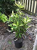 Sapodilla (Manilkara) Zapota Grafted 3 1/2 to 4 Ft Tall 3 Gal Plants