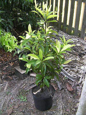 Sapodilla (Manilkara) Zapota Grafted 3 1/2 to 4 Ft Tall 3 Gal Plants by Varieties (Image #1)