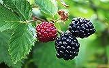 1 Starter Plant of Rubus Arapaho BlackBerry Live Plant