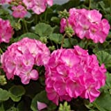 Outsidepride Geranium Pink Bicolor - 25 Seeds