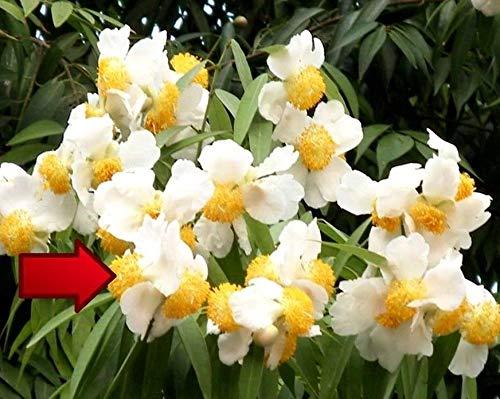 Portal Cool 8 Seed Sri Lankan Ironwood Indian Rose Chestnut, Or Cobra'S Saffron Mesua D208