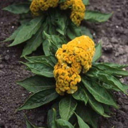 50 semillas de las semillas Cockscomb Celosia jardín amarilla: Amazon.es: Jardín