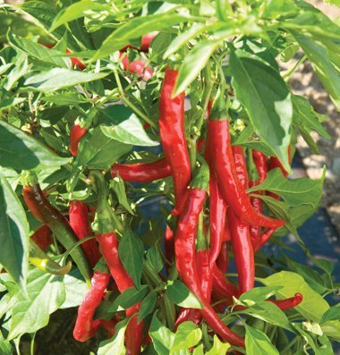 David's Garden Seeds Pepper Cayenne Red Flame D3025TR (Red) 25 Organic Hybrid Seeds