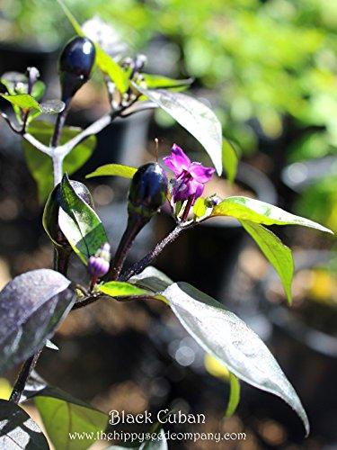 1000 seeds BLACK CUBAN PEPPER Seeds, Capsicum annuum by Andryani_alin2