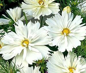 COSMOS PSYCHE WHITE Cosmos Bipinnatus - 100 Seeds