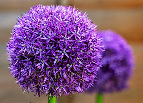 Giant Allium Giganteum Onion Flower Seeds, Dreamlike Purple Flower for Garden Spring Plant Decoration -50pcs (Blue Purple)