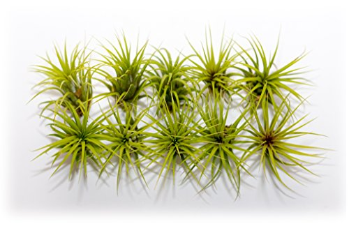 Hinterland Trading Ten Pack of Air Plant Tillandsia Ionantha Guatemala