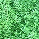 4 Starter Plants of Dryopteris Filix-Mas Linearis Polydactyla