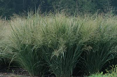 "Seeds and Things Switchgrass ""Sunburst ""Panicum Virgatum Native. 1,000+ Seeds an Upright Bunch-type Grass That Spreads By Short Rhizomes and Grows From 4 Ft. To 6 Ft. Tall. Blooms From July to September. Drought Tolerant. Very Hardy."