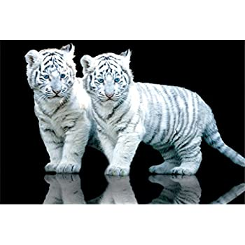 Amazon.com: gb White Tiger Cubs Baby Animal Photography