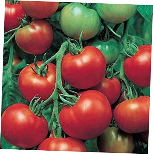 HNM 20 Seeds Super Sioux Tomato Seeds - LY710 (Super Sioux Tomato)