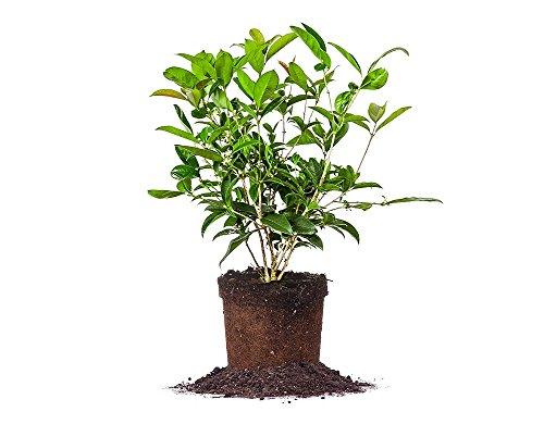 tea-olive-size-1-gallon-live-plant-includes-special-blend-fertilizer-planting-guide