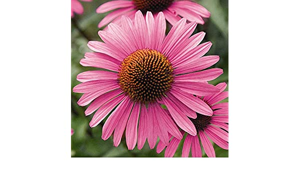 Echinacea Primadonna Deep Rose Pink 15 Seeds