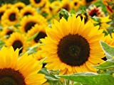 Giant Sunflower Kit - Hundreds of Jumbo Sun Flower Seeds for Planting - Yeilds Edible Seed
