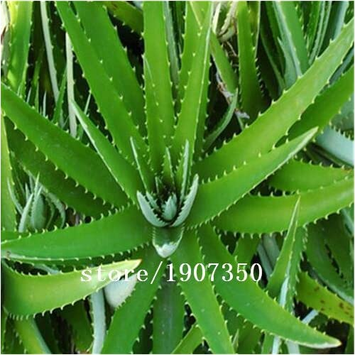 Free Shipping Hoo Products Succulents Seed Mesa Aloe Polyphylla