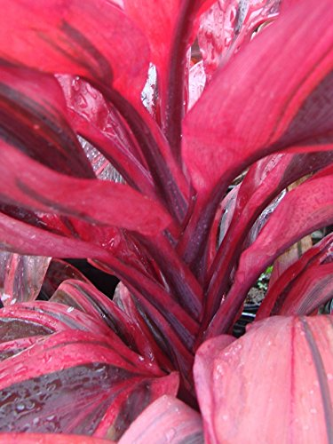 (~ELECTRA~ TI PLANT Cordyline terminalis DELUXE COLOR Foliage Small Potted Plant)