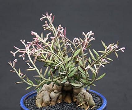 Amazon.com: monadenium Rubellum, exótico caduciform ...