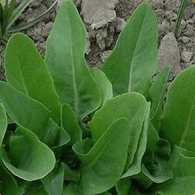 Everwilde Farms - Organic Amish Deer Tongue Leaf Lettuce Seeds - Gold Vault Packet
