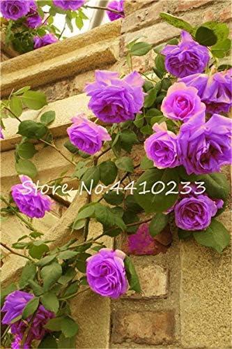 Kalash nuevas 100 PC rosal trepador semillas de flores de color púrpura para la jardinería: Amazon.es: Jardín