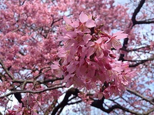 Autumn Cherry Tree (Okame Flowering Cherry Tree – Prunus incam - Established Roots - 2.5