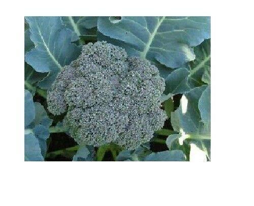 Buy waltham 29 broccoli seeds