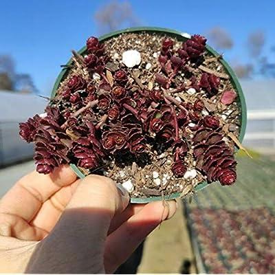 """Fresh Rare Succulent Plant Phedimus Spurius Schorbusser Blut Shown in 4"""" Pot Get 1 Easy Grow #SDP01YN : Garden & Outdoor"""