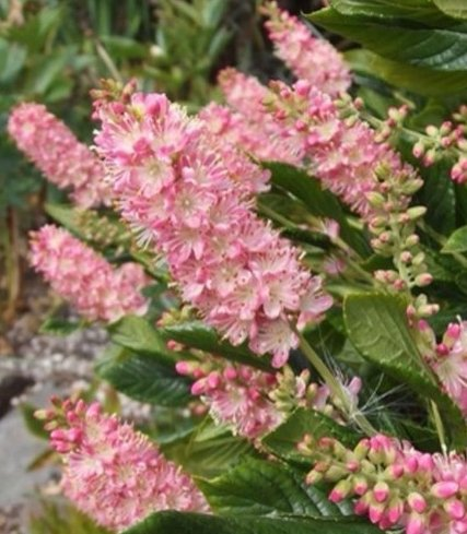Clethra Ruby Spice Potted Plant, Beautiful for all areas of the Garden, Starter Plant