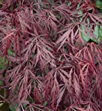 Red Laceleaf Weeping Japanese Maple Tamukeyama